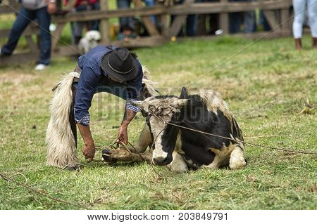 June 3 2017 Machachi Ecuador: Andean cowboy dressed traditionally roping a cow