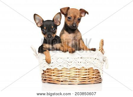 Toy Terrier Puppies On White Background