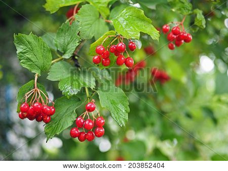 Red berries of the ripening guelder rose on branches