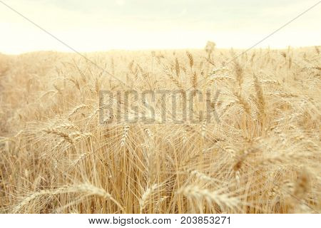 Field with mature yellow wheat. Spikelets of wheat on the field.