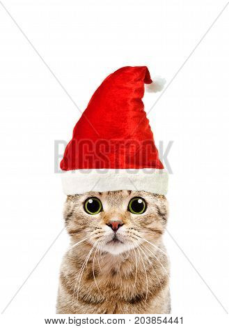 Portrait of a beautiful cat Scottish Straight in a New Year's cap, isolated on a white background
