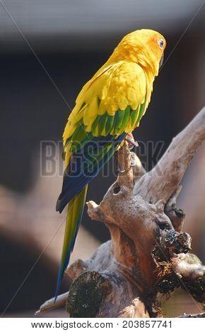 Sun parakeet bird (Aratinga solstitialis) close up.