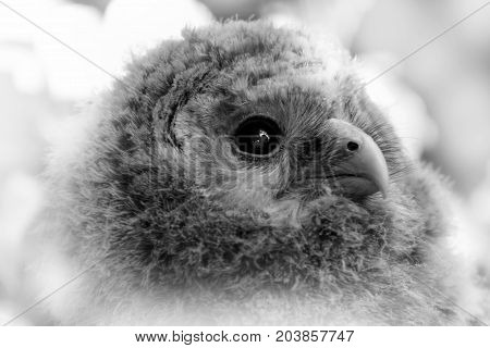 Black and white portrait baby owl. Face child owl.