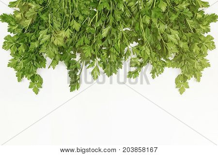 Parsley bunch isolated on white background. Parsley leaves of herbs. Parsley leaves are laid out along the plane