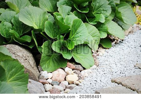 Pebbled path in the garden with Bergenia on flowerbed .