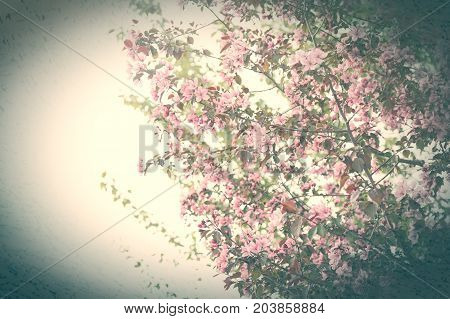 Beautiful flowers of delicate pink. Abundantly flowering shrubs and trees. Floral cloud. One million rosebuds. Branches covered with flowers. A lot of small beautiful flowers.