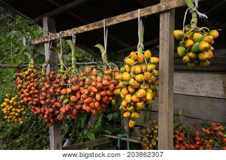 peach palm fruit brunches in the Amazon area of Ecuador
