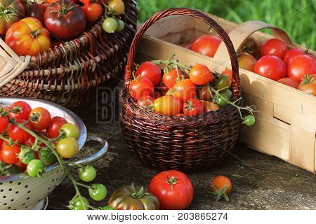 Heirloom variety tomatoes in baskets on rustic table. Colorful tomato - red, yellow , orange. Harvest vegetable cooking conception. Full baskets of tometoes in green background .