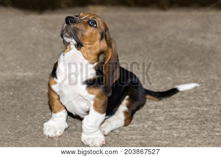 Little Sweet Puppy Basset Hound Sits  And Looks Up