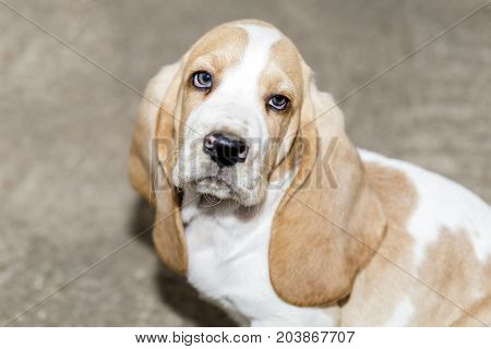 Llittle Sweet Puppy Basset Hound Sits  And Looks Up In The Camera