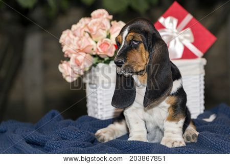 Sweet Little Gentle Puppy Basset Hound With Sad Eyes And Very Long Ears Sitting On A Blanket