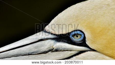 Close up of a beautiful Gannet Seabird