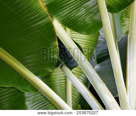 Close up of green new banana leaves
