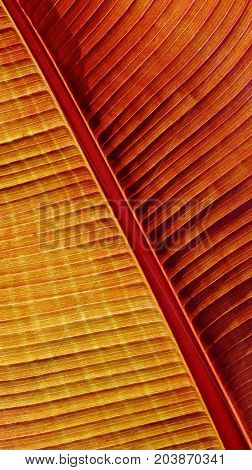Close up of a colorful new banana leaf