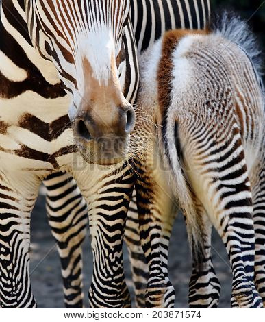 Close up of Zebra Mother and Calf