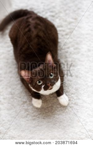 Portrait of young devon rex cat in home