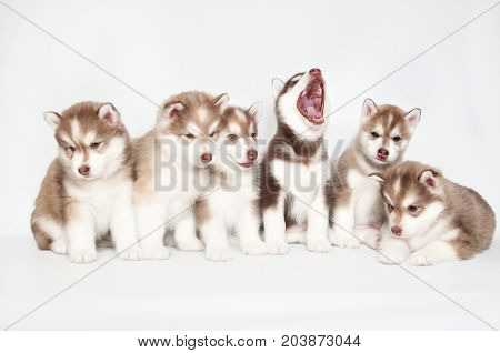 Six husky puppies with blue and brown eyes