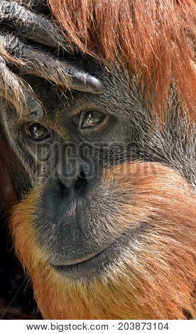 Close up of a Face of an Orangutan