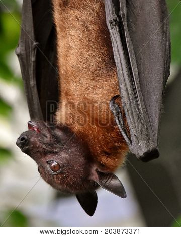 Close up of a  Fruit Bat hanging on a tree