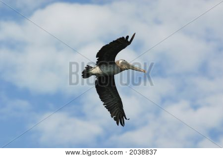 Large Pelican Flying