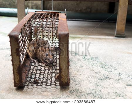 The rat was in a cage catching a rat. the rat has contagion the disease to humans such as Leptospirosis Plague. Homes and dwellings should not have mice. The eyes of rat show fear.