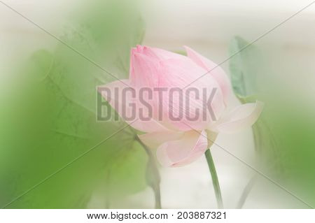 lotus flowers nature with light morning day holy day