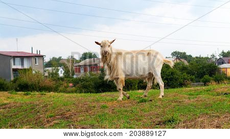 Herd Of Goats Grazing Farm Animal Farm On The Steppe Meadow In Sunny Summer Day. Rural Landscape Of