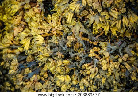Closeup of wet yellow algae (Bladder wrack) on a rock on the beach at low tide