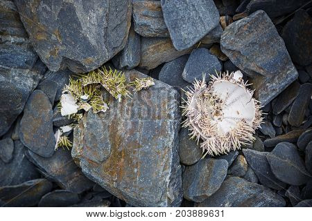 Old white sea urchins shell from north sea on the stone background