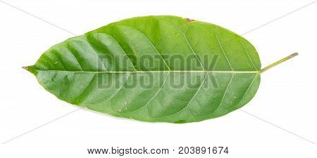 Ficus glaberrima leaf on a white background