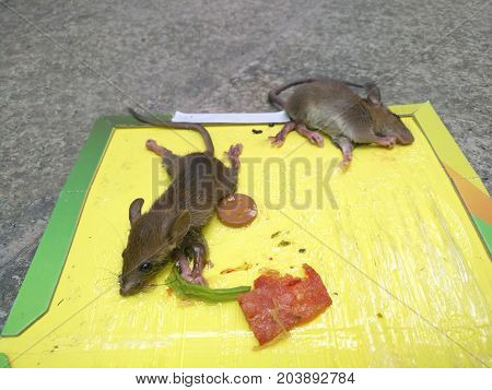 mice stuck on a sticker or catcher with baits close up