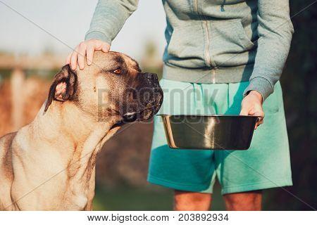 Young man feeding the huge dog (cane corso) in the garden.