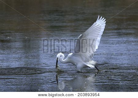 Little egret hunting fish in its natural habitat