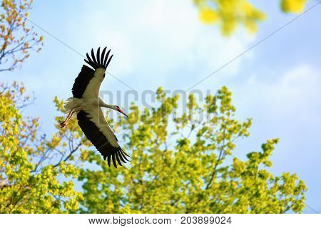 At the background of the blue sky and blurred trees the stork is flying unfolding black wings.