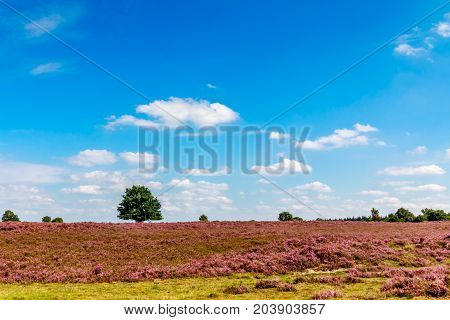 green tree in a purple heath with a blue sky with clouds