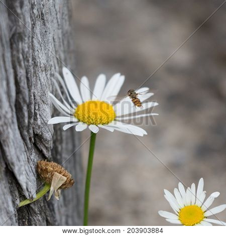 closeup of a hoverfly approaching a daisy