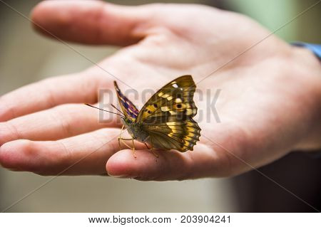the small tortoiseshell butterfly (Aglais urticae) on human hand
