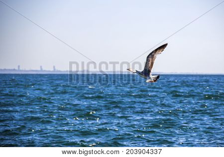 close-up of the adult gull in flight
