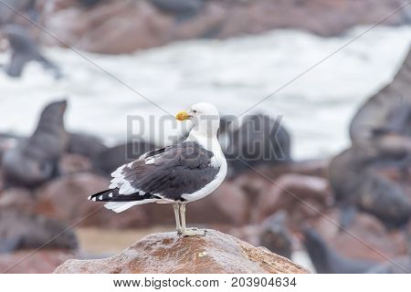 A kelp gull Larus dominicanus looking back at Cape Cross on the Skeleton Coast of Namibia