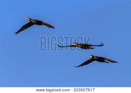 cormorants (phalacrocorax carbo ) in flight in Danube Delta Romania