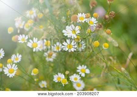 Camomiles close-up. Flower with white petals and green background.