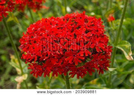 Flower Lichnis Scarlet Chalcedonian red in the garden