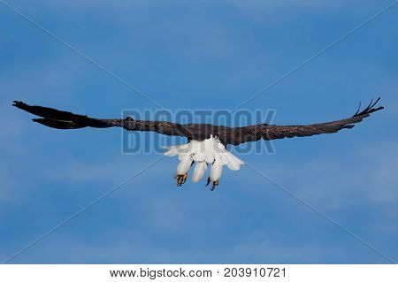 Wings spread wide a bald eagle soars into the blue sky. Eagle is flying away so its bright white tail feathers are open and visible.