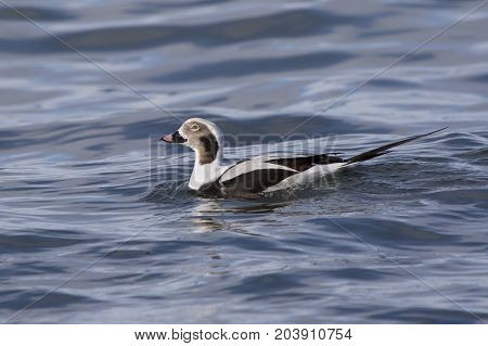 Male long-tailed duck who swims on the waves of the ocean near the shore