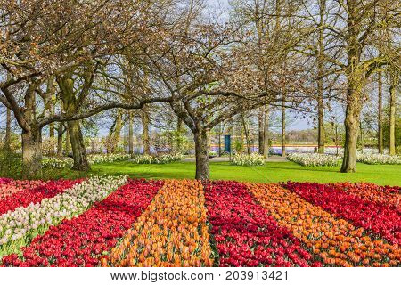 Colorful image of a tulip garden in spring.