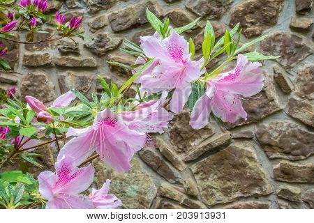 A George Lindley Taber azalea flower isolated on a stone wall background.