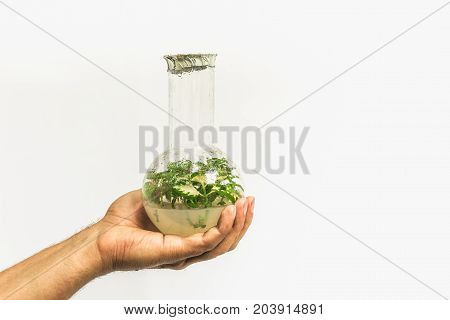 Glass test tube or flask with in vitro cloned microplant in nutrient medium in man hand on white background, copy space