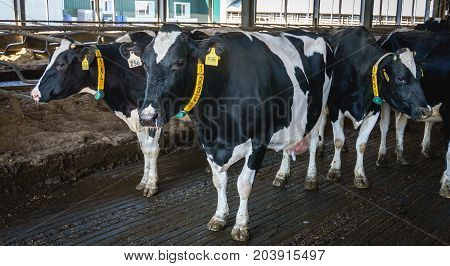 Cow farm, production of milk and cheese curd, cows in livestock