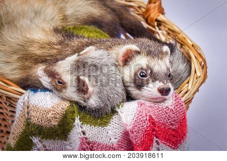 Two pretty sable ferrets sitting in a basket with colorful balls of yarn