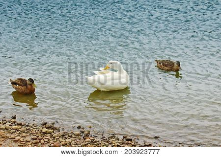 White duck surrounded by other ducks on a lake